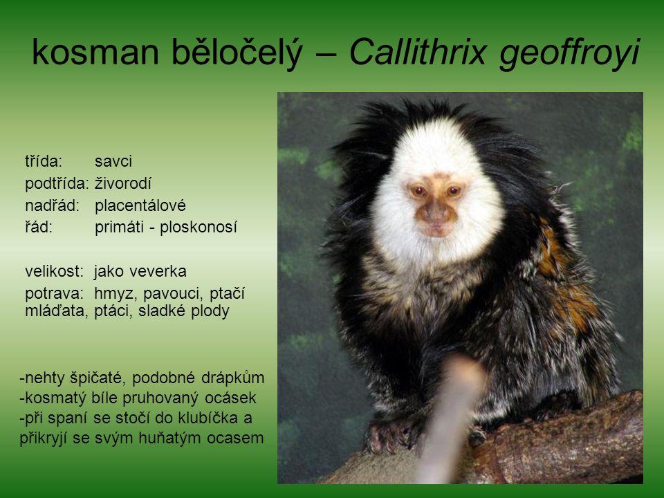 kosman běločelý – Callithrix geoffroyi