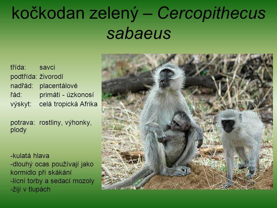 kočkodan zelený – Cercopithecus sabaeus