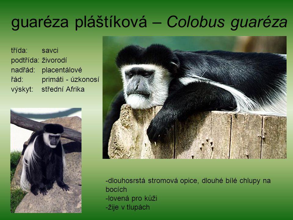 guaréza pláštíková – Colobus guaréza