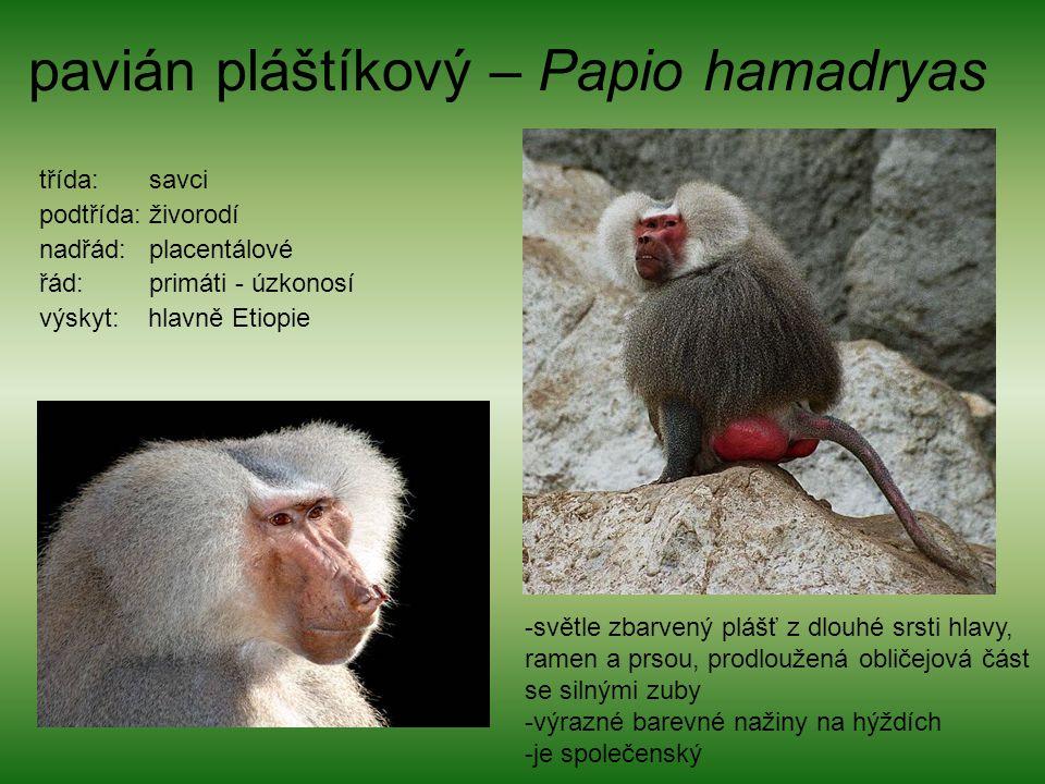 pavián pláštíkový – Papio hamadryas