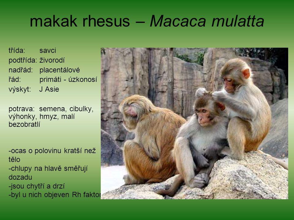 makak rhesus – Macaca mulatta