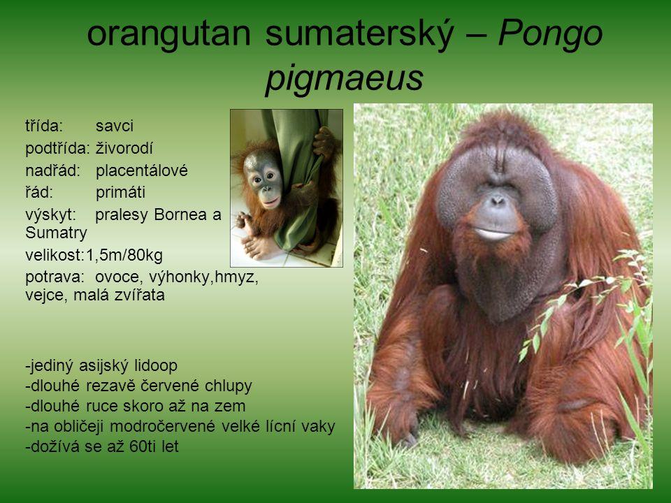 orangutan sumaterský – Pongo pigmaeus