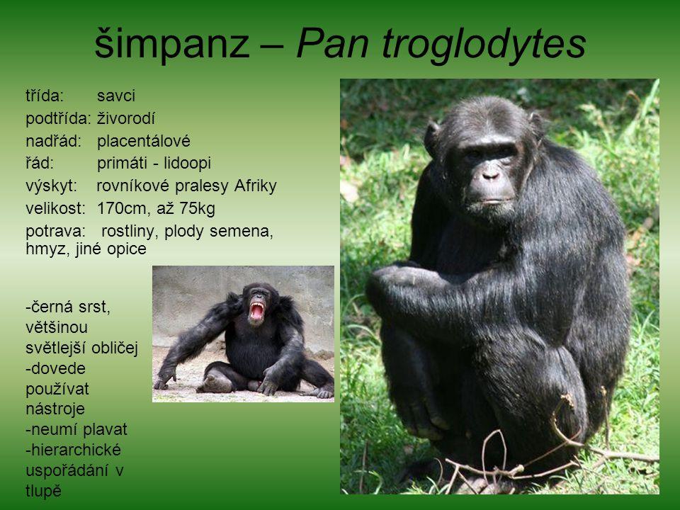 šimpanz – Pan troglodytes