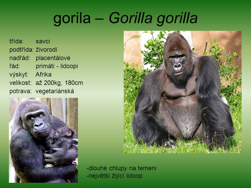 gorila – Gorilla gorilla