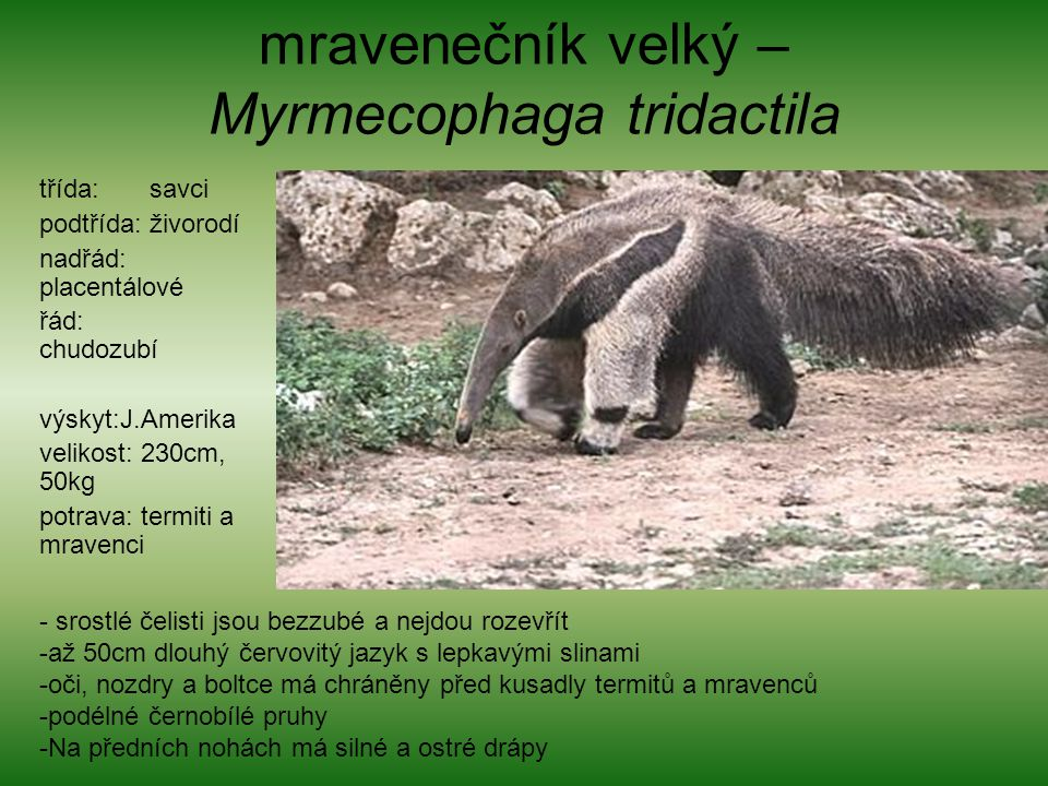 mravenečník velký – Myrmecophaga tridactila