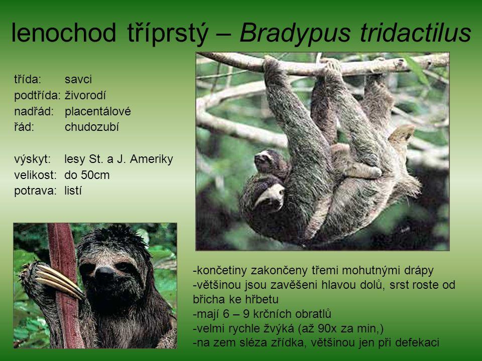 lenochod tříprstý – Bradypus tridactilus