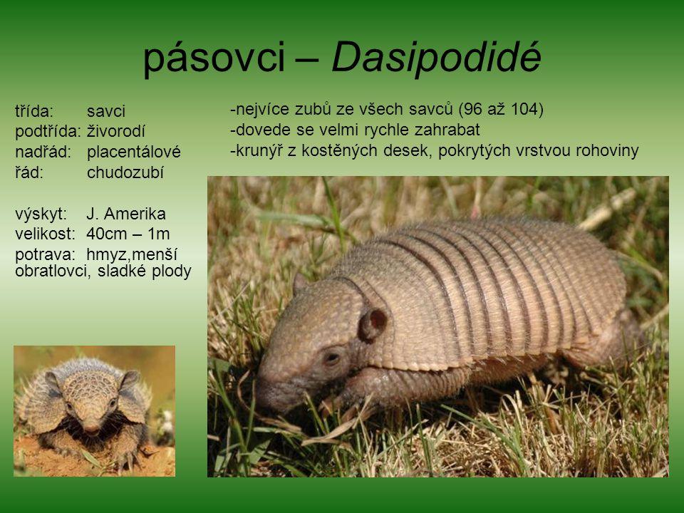 pásovci – Dasipodidé nejvíce zubů ze všech savců (96 až 104)