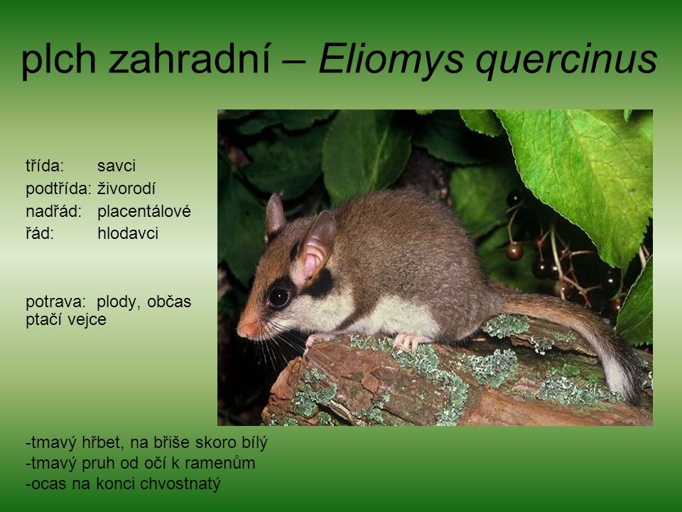 plch zahradní – Eliomys quercinus