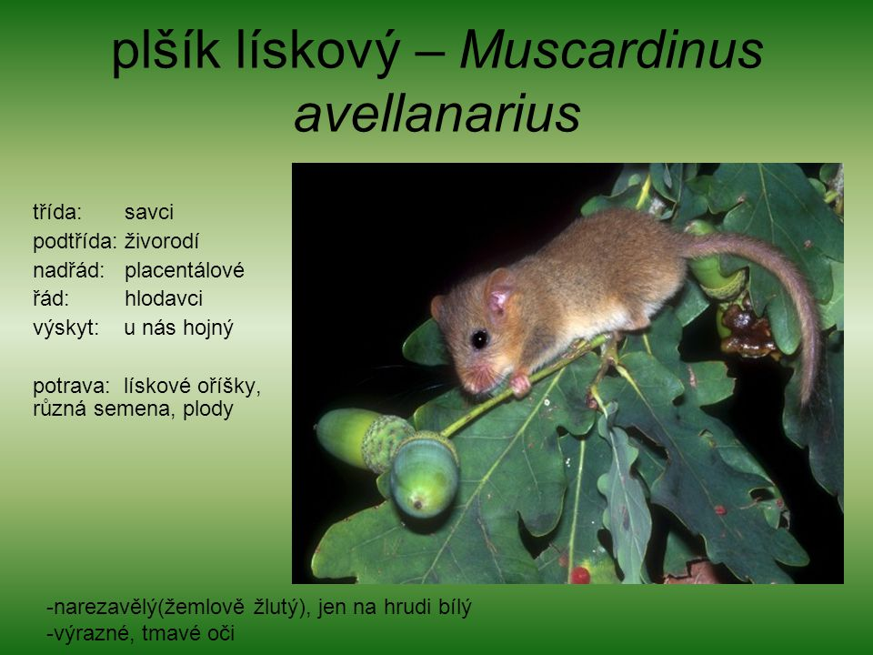plšík lískový – Muscardinus avellanarius