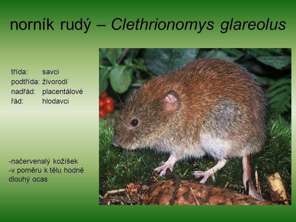 norník rudý – Clethrionomys glareolus
