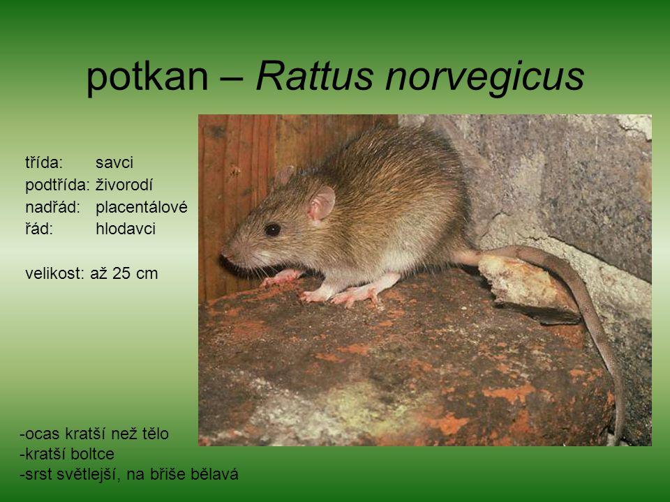 potkan – Rattus norvegicus