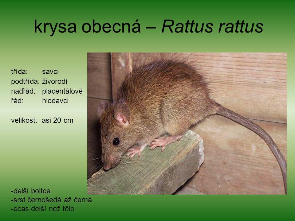 krysa obecná – Rattus rattus