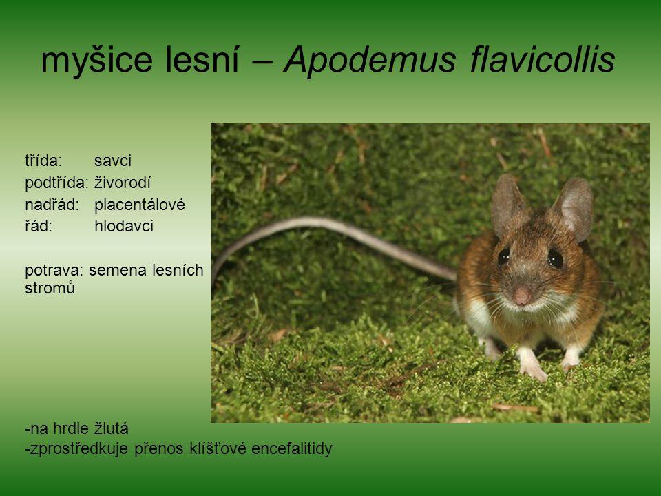 myšice lesní – Apodemus flavicollis