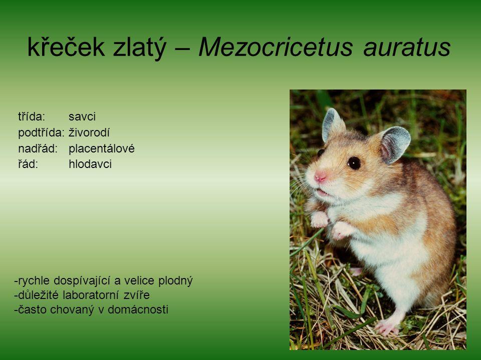 křeček zlatý – Mezocricetus auratus