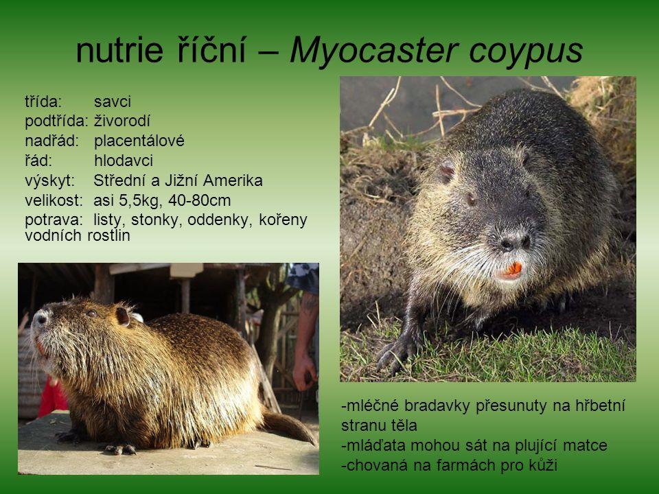 nutrie říční – Myocaster coypus