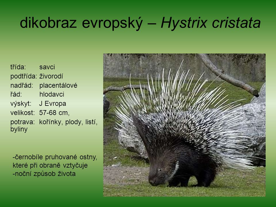 dikobraz evropský – Hystrix cristata