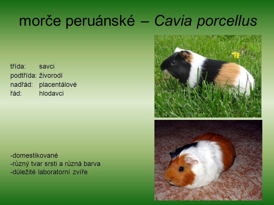 morče peruánské – Cavia porcellus