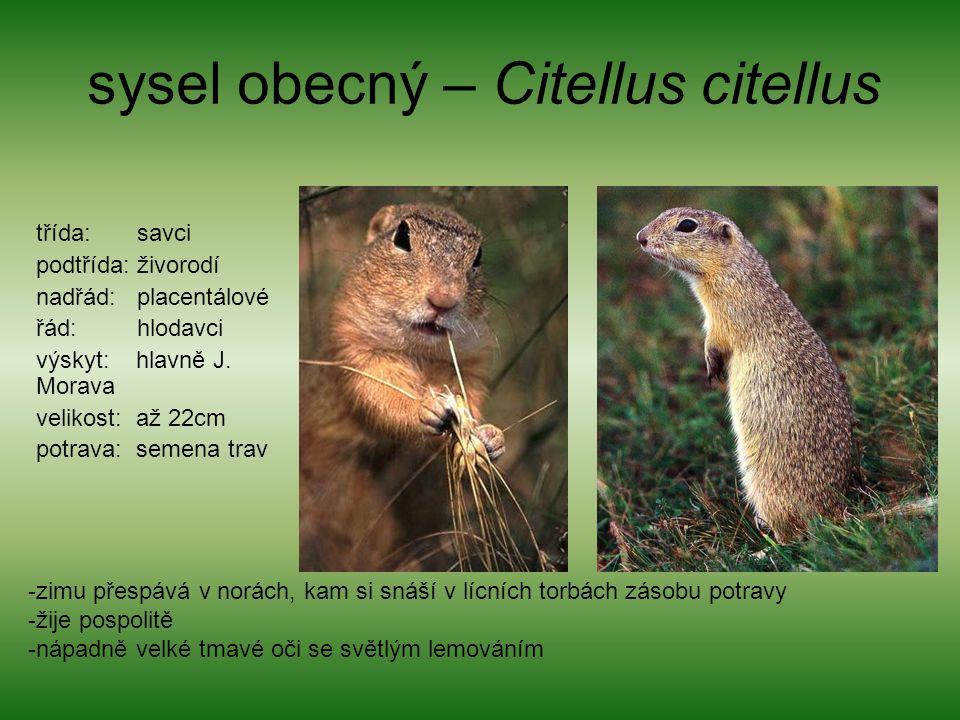 sysel obecný – Citellus citellus