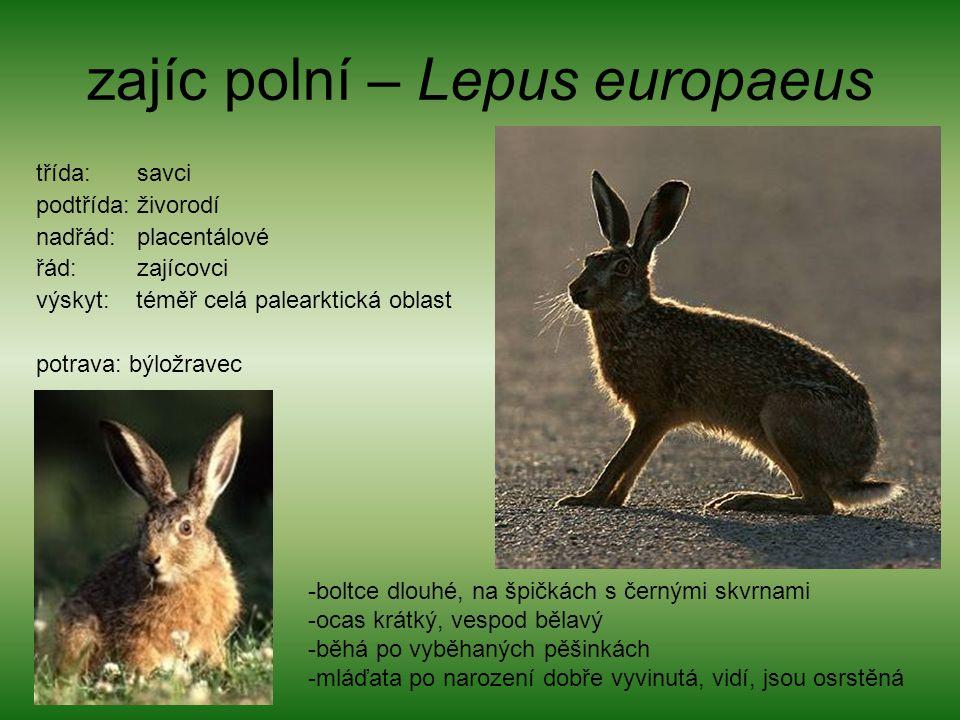zajíc polní – Lepus europaeus