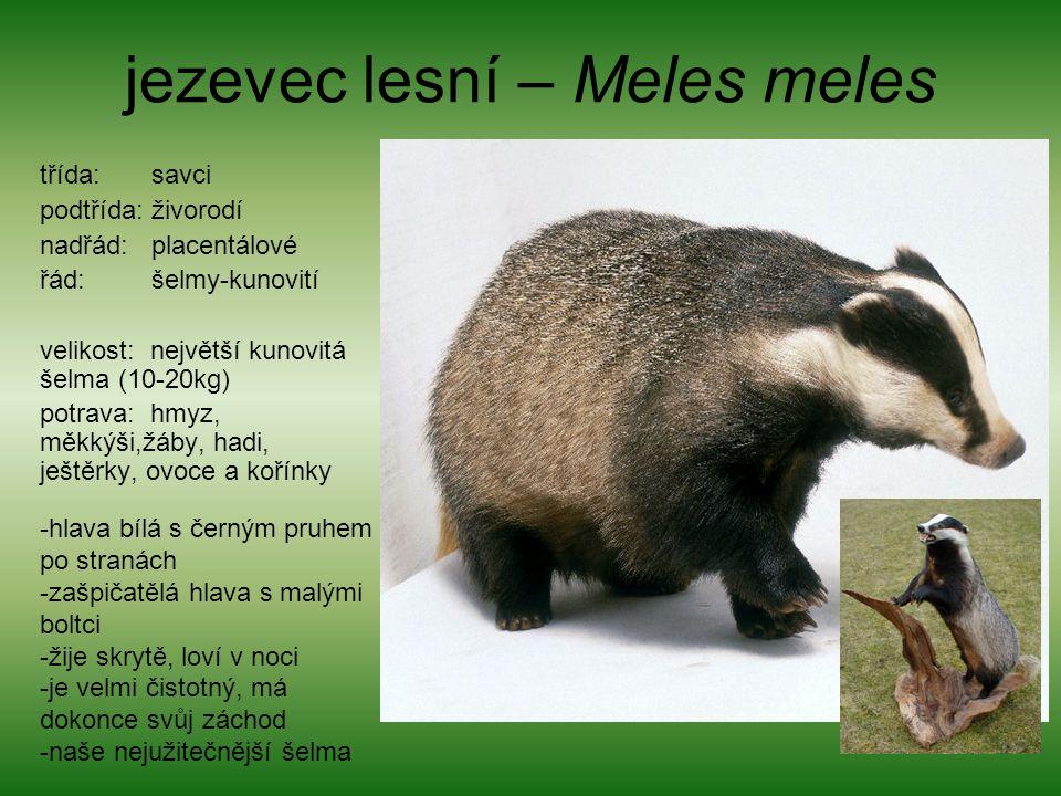 jezevec lesní – Meles meles