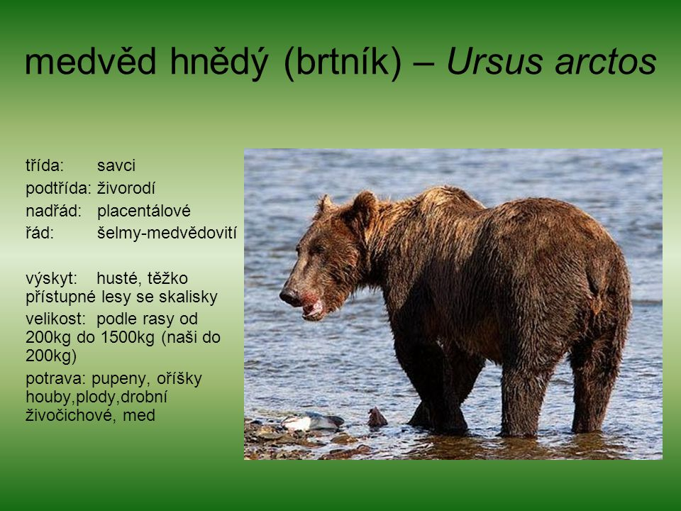 medvěd hnědý (brtník) – Ursus arctos