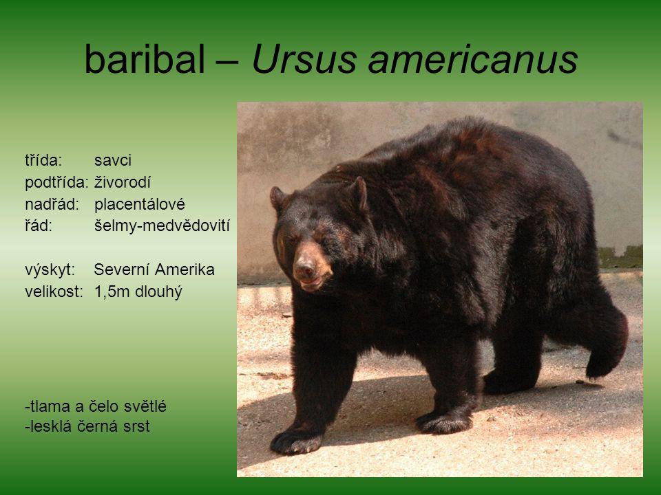 baribal – Ursus americanus