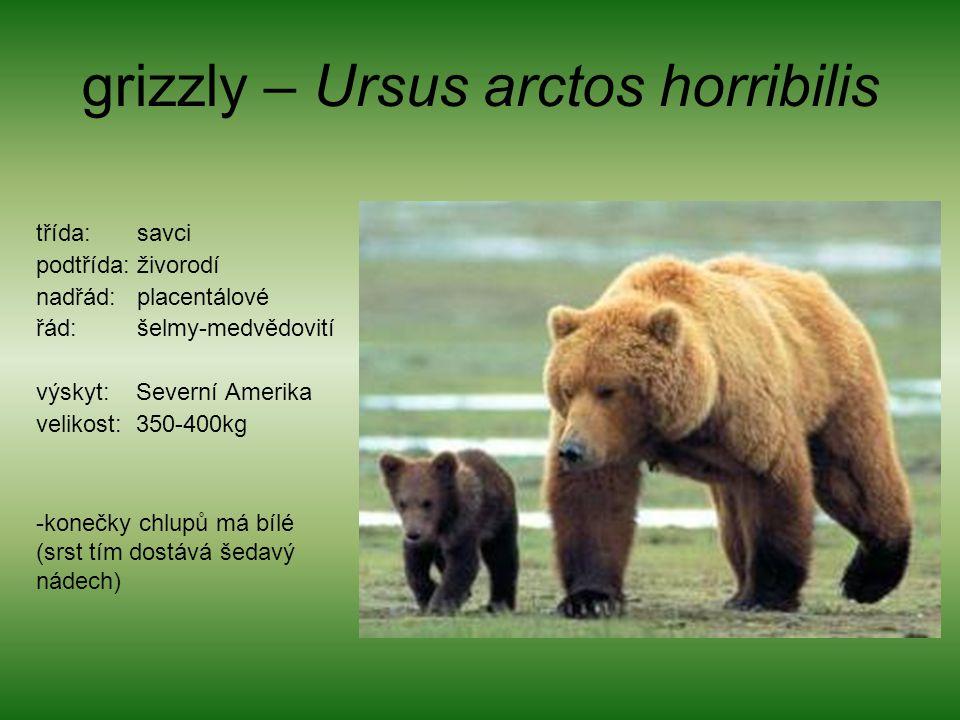 grizzly – Ursus arctos horribilis