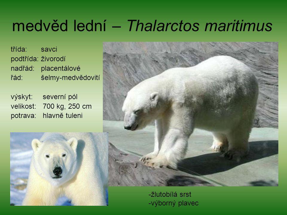 medvěd lední – Thalarctos maritimus