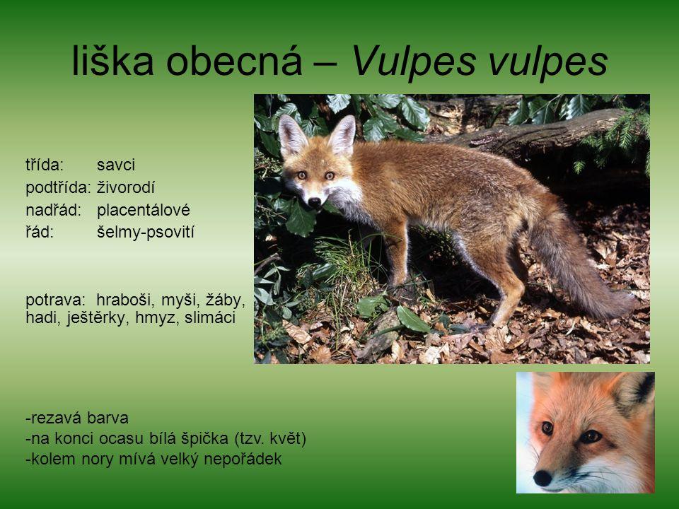 liška obecná – Vulpes vulpes