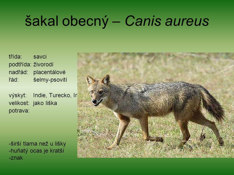 šakal obecný – Canis aureus
