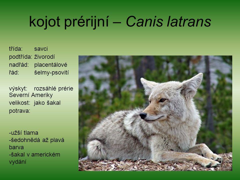 kojot prérijní – Canis latrans