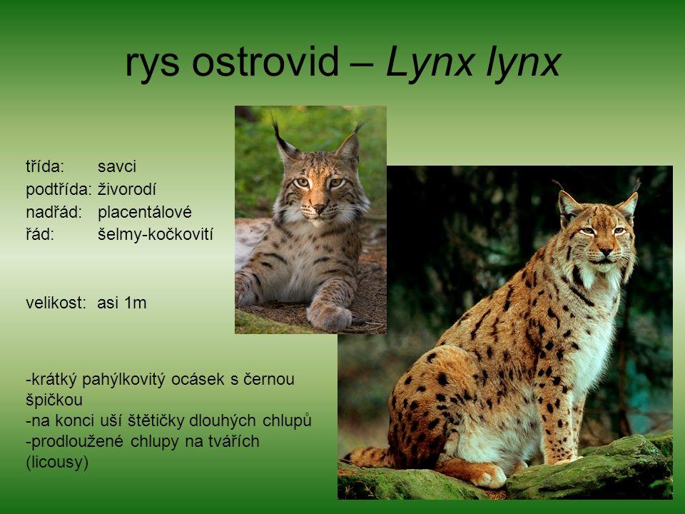 rys ostrovid – Lynx lynx
