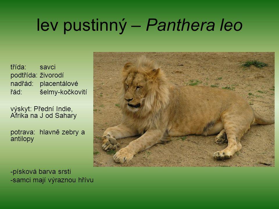 lev pustinný – Panthera leo