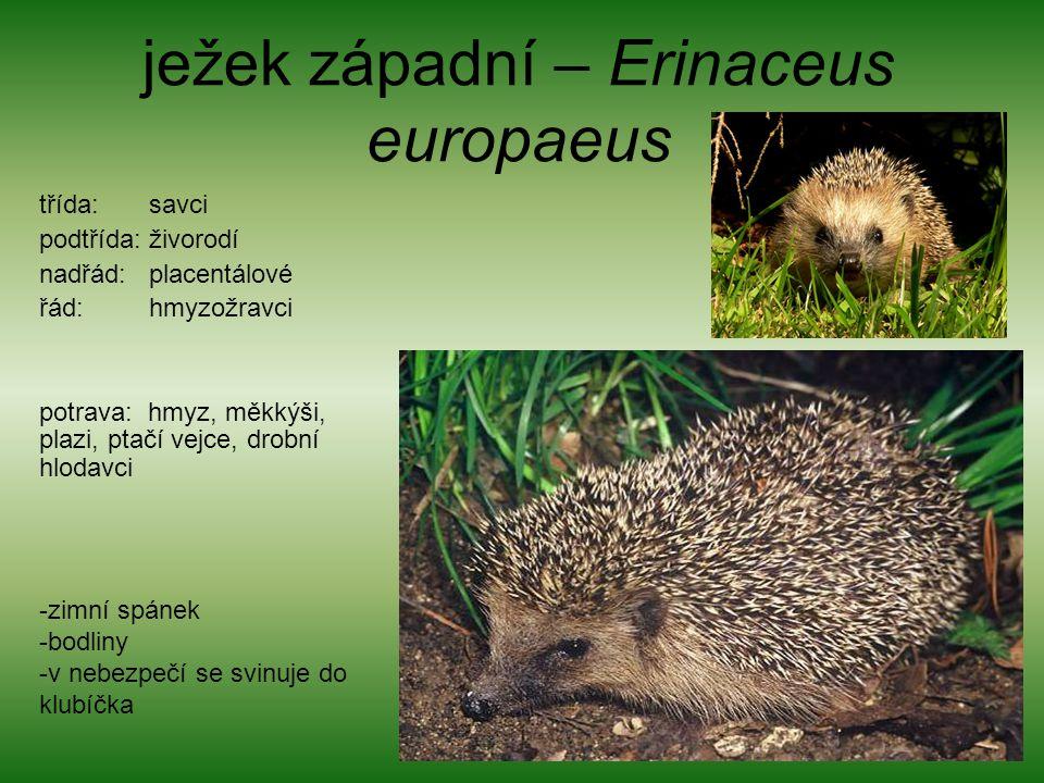 ježek západní – Erinaceus europaeus