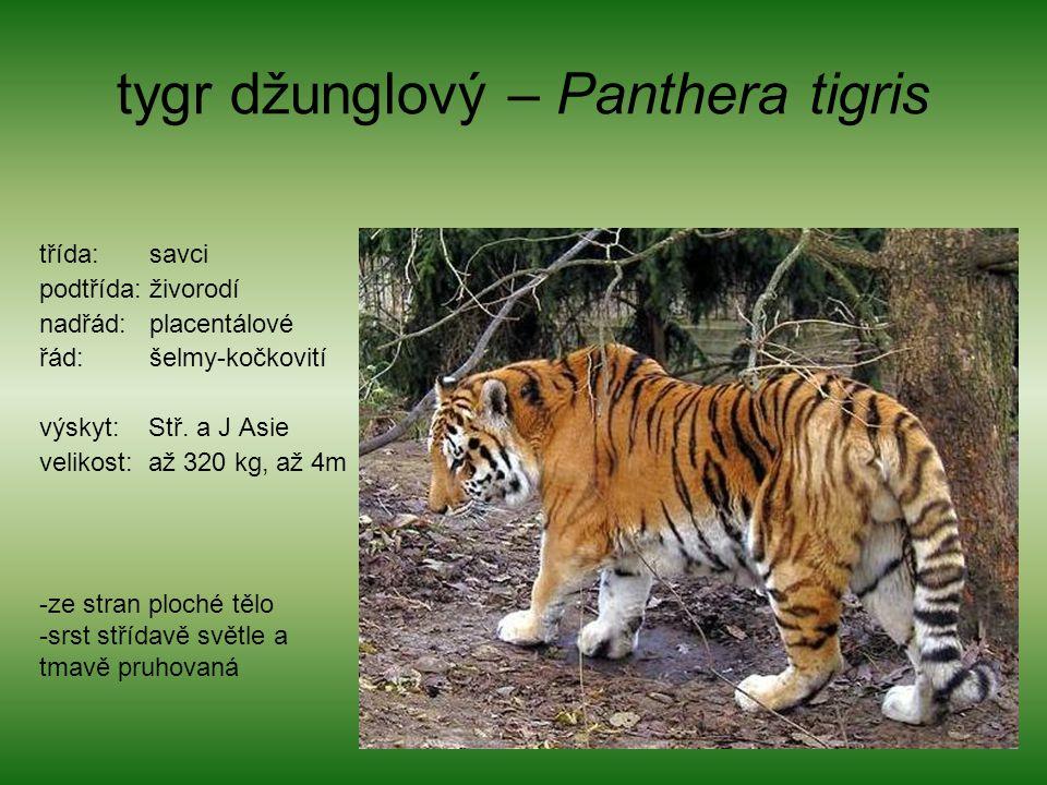 tygr džunglový – Panthera tigris