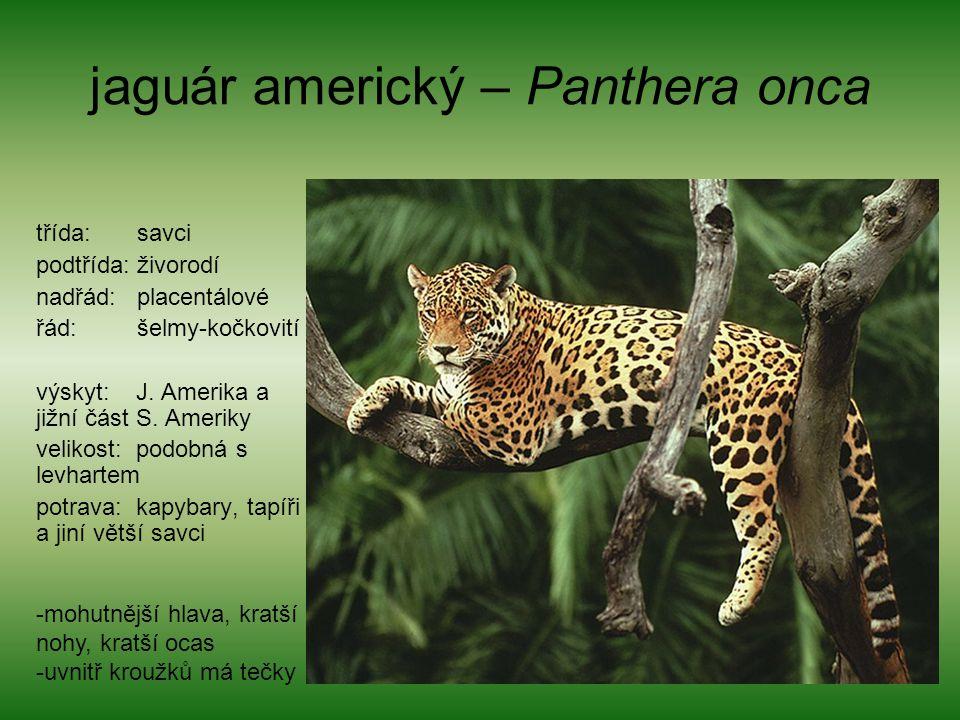 jaguár americký – Panthera onca
