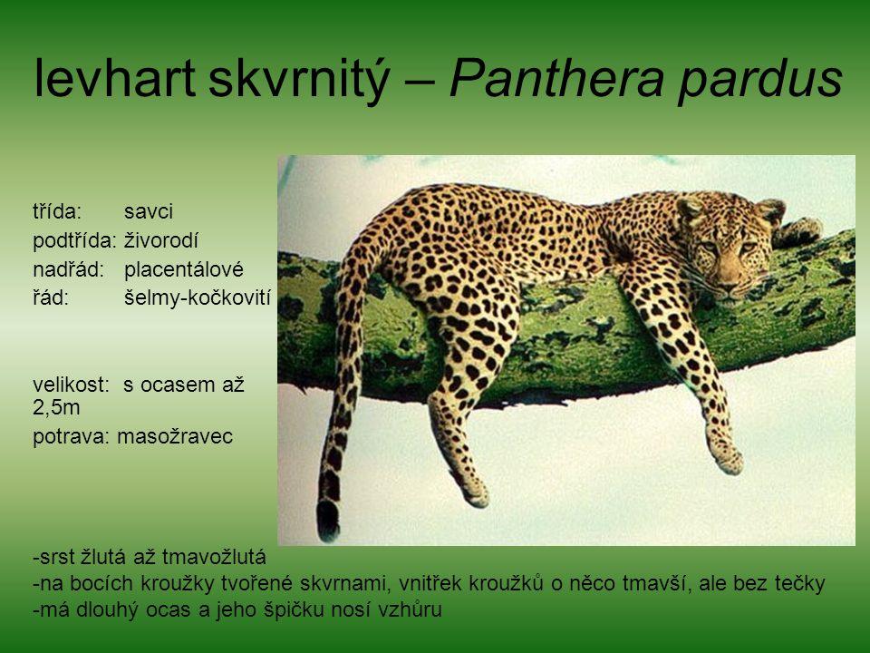 levhart skvrnitý – Panthera pardus