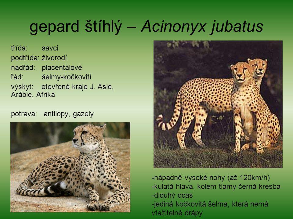 gepard štíhlý – Acinonyx jubatus