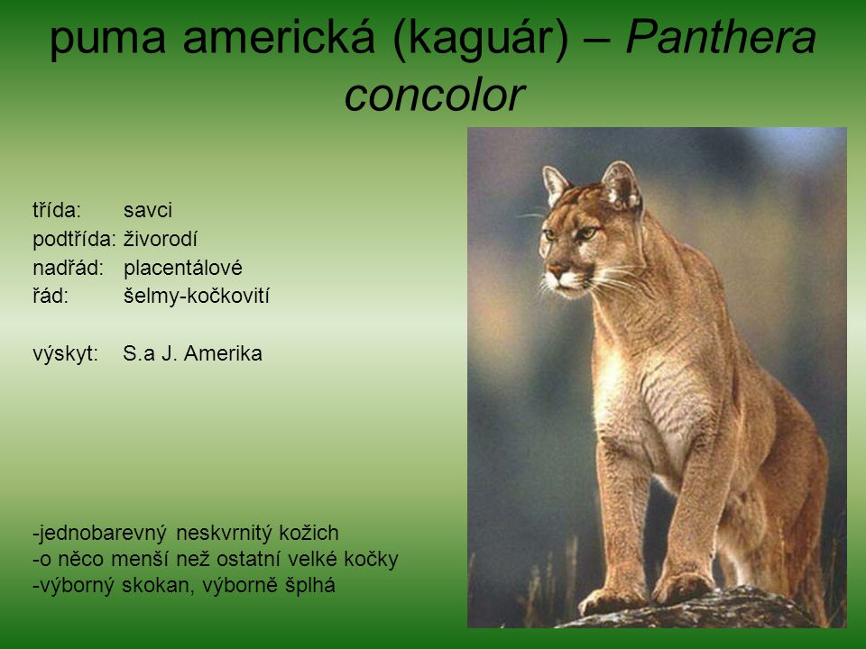 puma americká (kaguár) – Panthera concolor