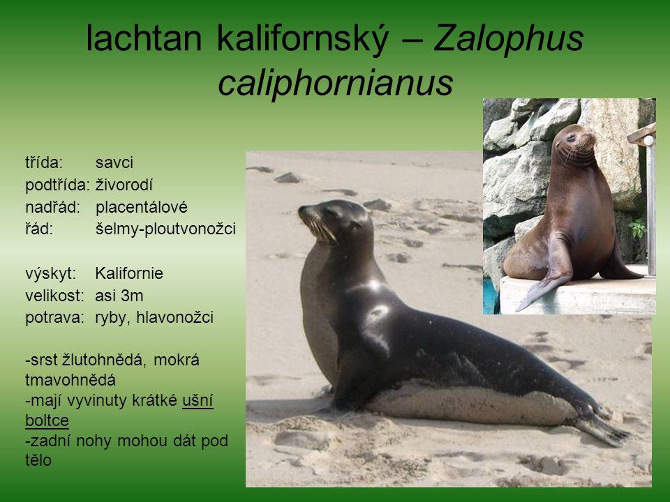lachtan kalifornský – Zalophus caliphornianus