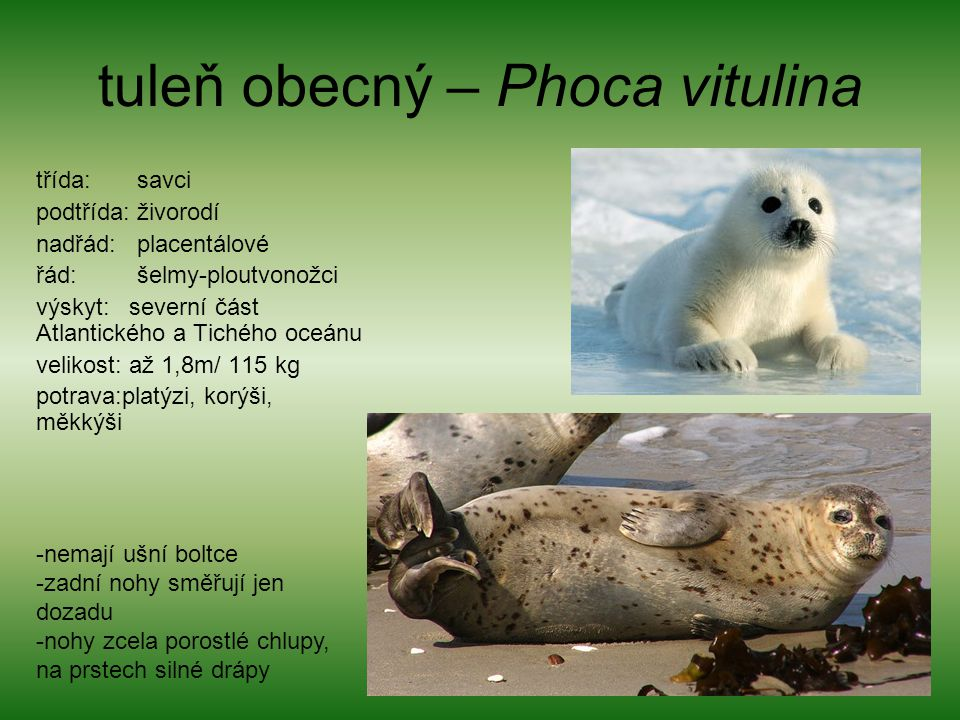 tuleň obecný – Phoca vitulina