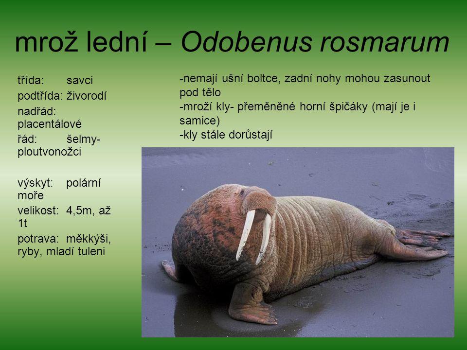 mrož lední – Odobenus rosmarum
