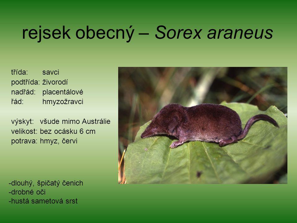 rejsek obecný – Sorex araneus