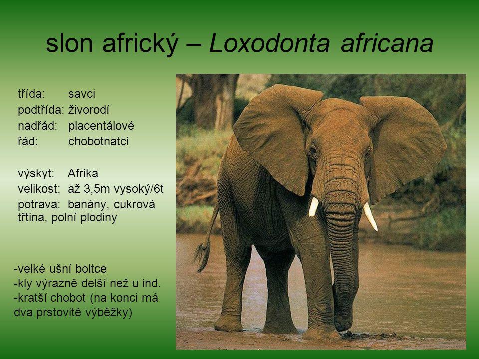 slon africký – Loxodonta africana