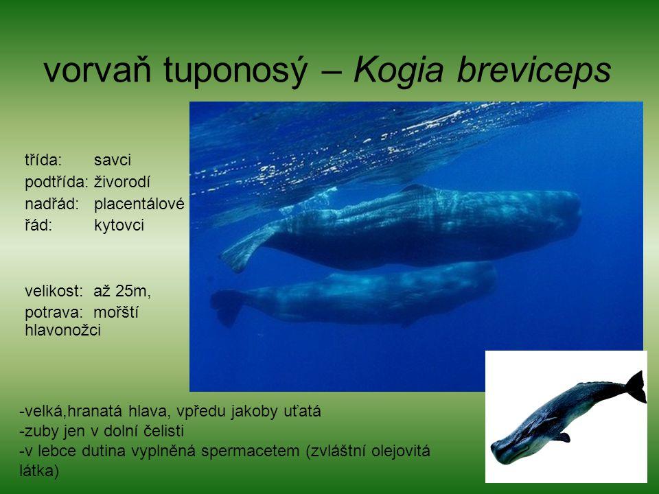 vorvaň tuponosý – Kogia breviceps