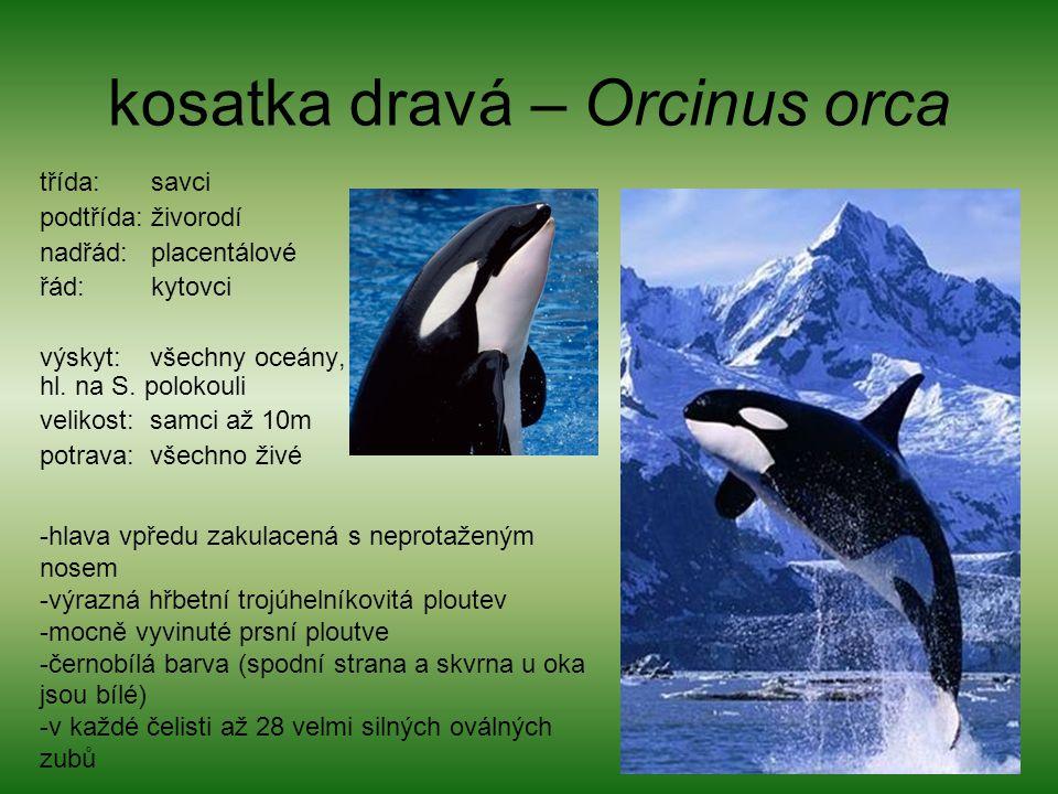 kosatka dravá – Orcinus orca