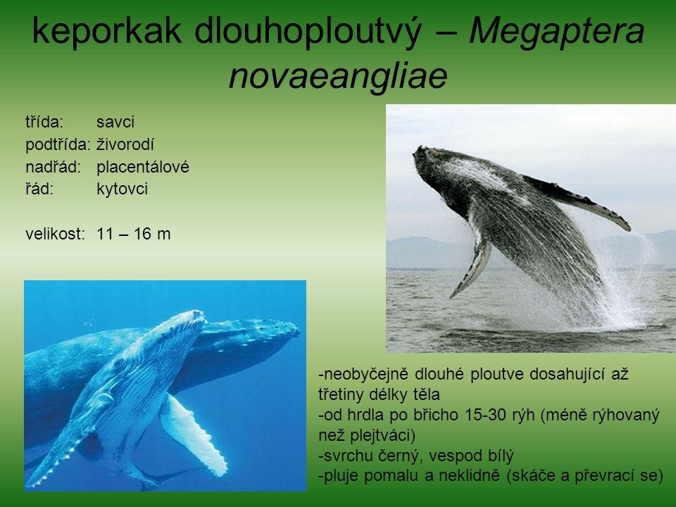 keporkak dlouhoploutvý – Megaptera novaeangliae