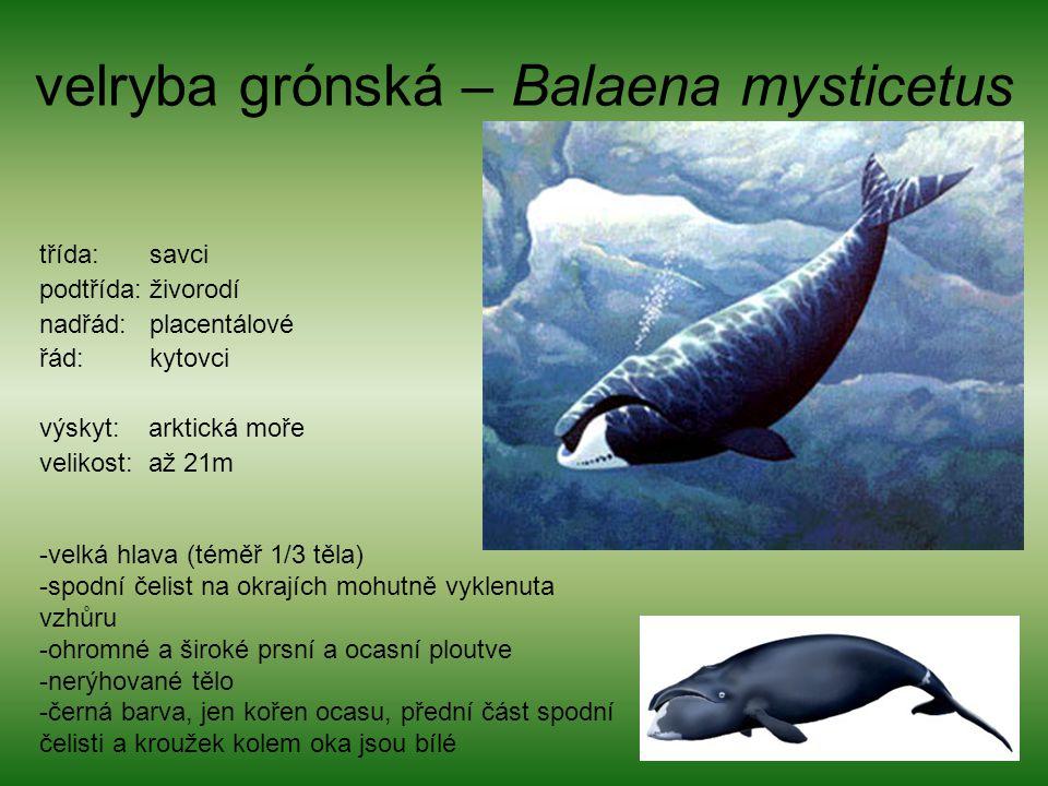 velryba grónská – Balaena mysticetus