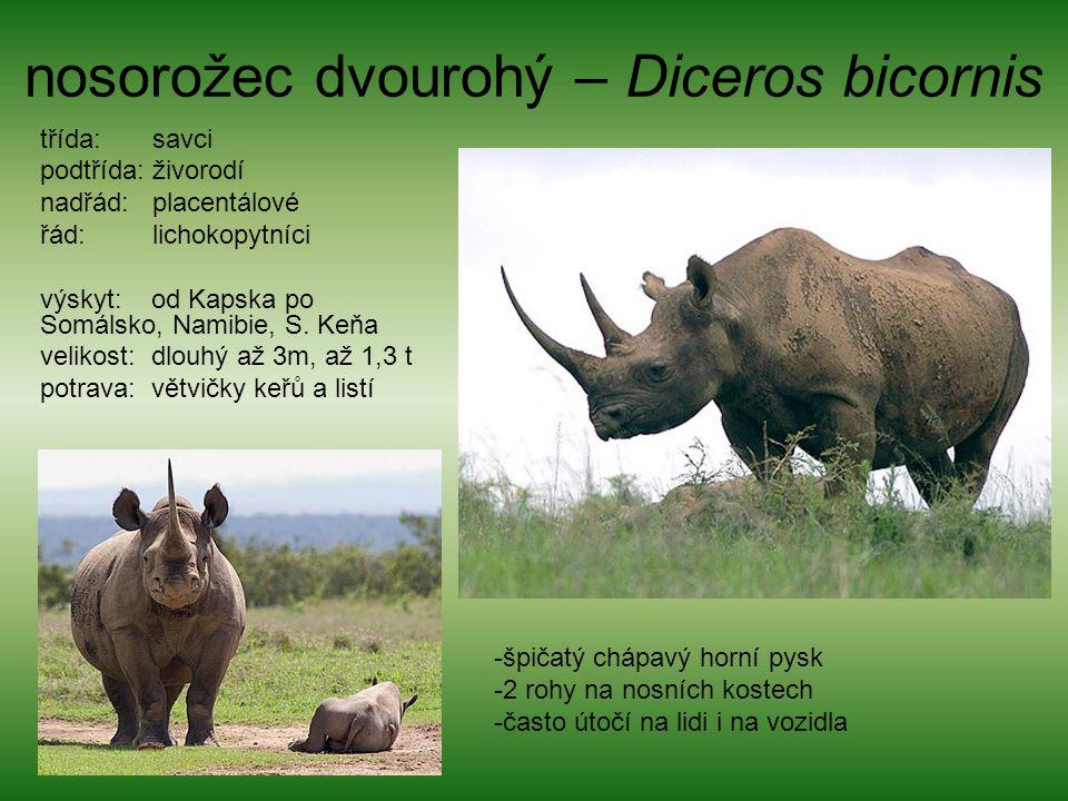 nosorožec dvourohý – Diceros bicornis