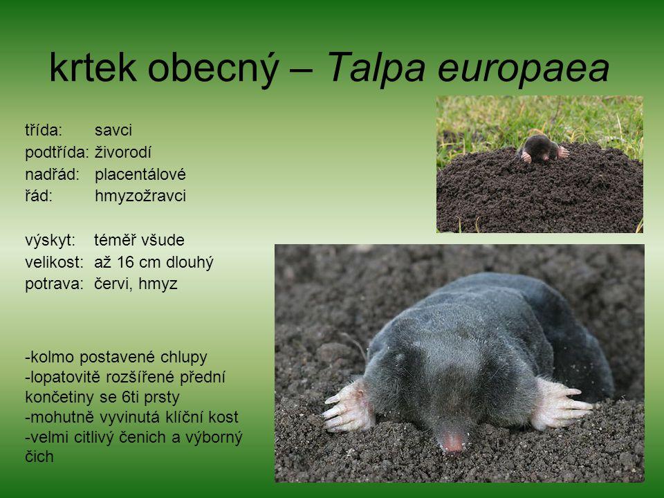 krtek obecný – Talpa europaea